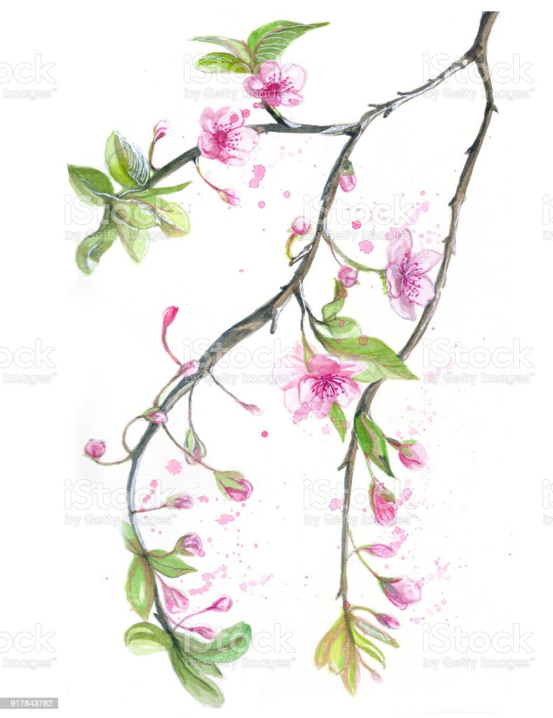 Watercolor Drawing Of Cherry Cherry Blossoms Cherry Blossoms Pink