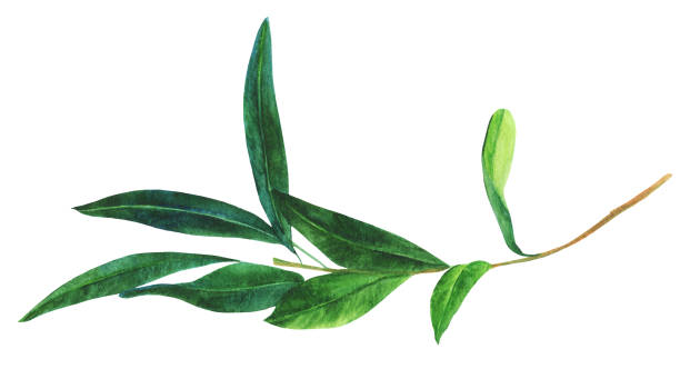 Watercolor drawing of green olive branch, isolated on white A watercolor drawing of a green olive branch, isolated on white olive branch stock illustrations