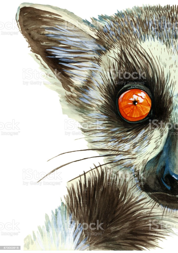 Watercolor drawing of mammal animal of lemur with large orange eyes with hair and tail, portrait of lemur, on white background for decor, print and decorations, postcards vector art illustration