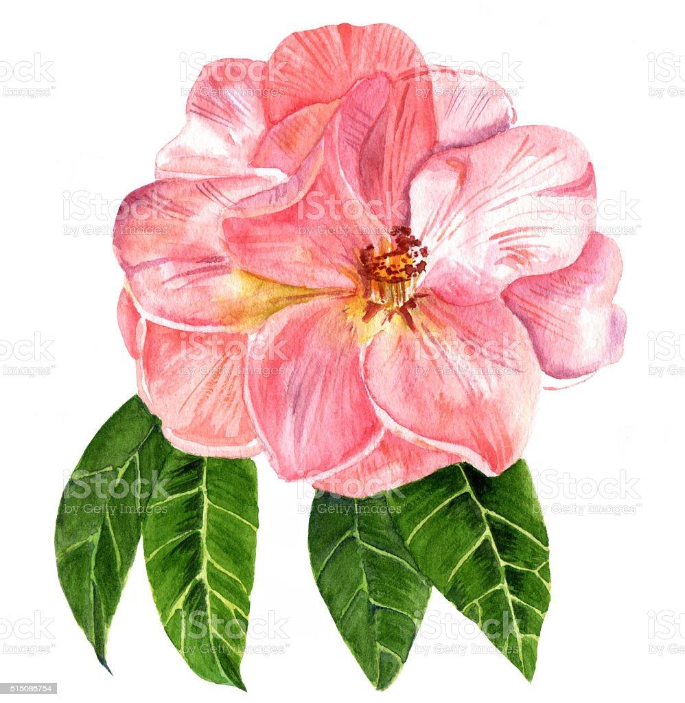 Watercolor Drawing Of Tender Pink Camellia Flower In Bloom Stock