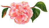 Watercolor drawing of tender pink camellia flower in bloom