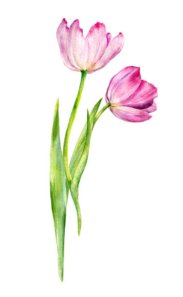 bildbanksillustrationer, clip art samt tecknat material och ikoner med akvarell ritning rosa tulpaner - tulpaner
