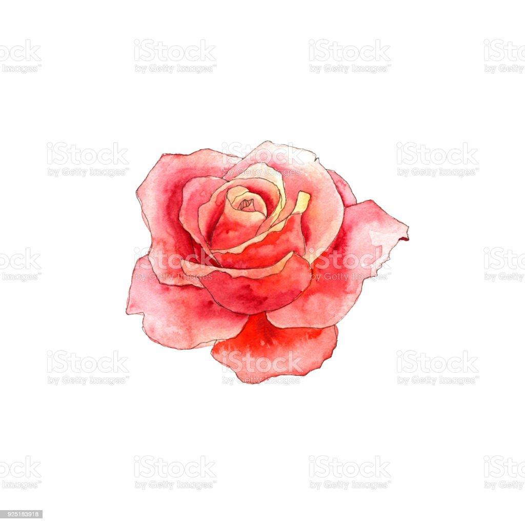 Aquarelle Dessin Rose Cliparts Vectoriels Et Plus D Images De