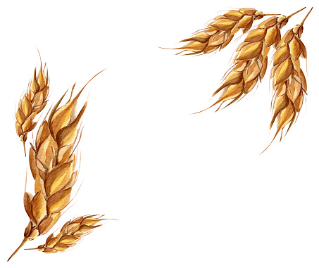 Watercolor ears of wheat frame border seamless pattern.
