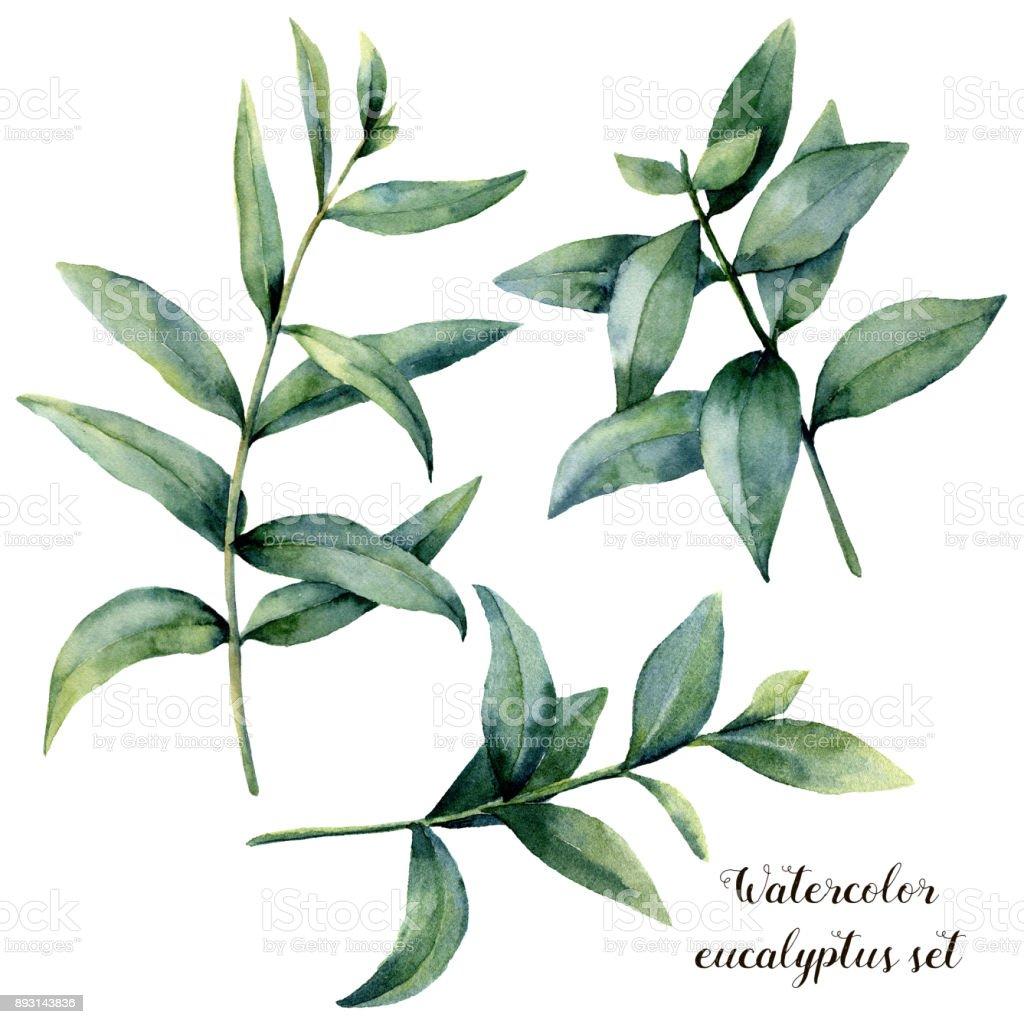 Aquarell Eukalyptus Zweig Gesetzt Hand Bemalt Exotische Verlässt ...