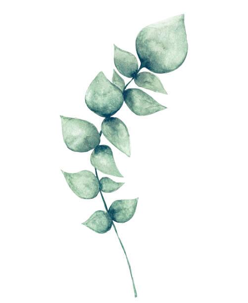 ilustrações de stock, clip art, desenhos animados e ícones de watercolor eucalyptus leaf - flower white background