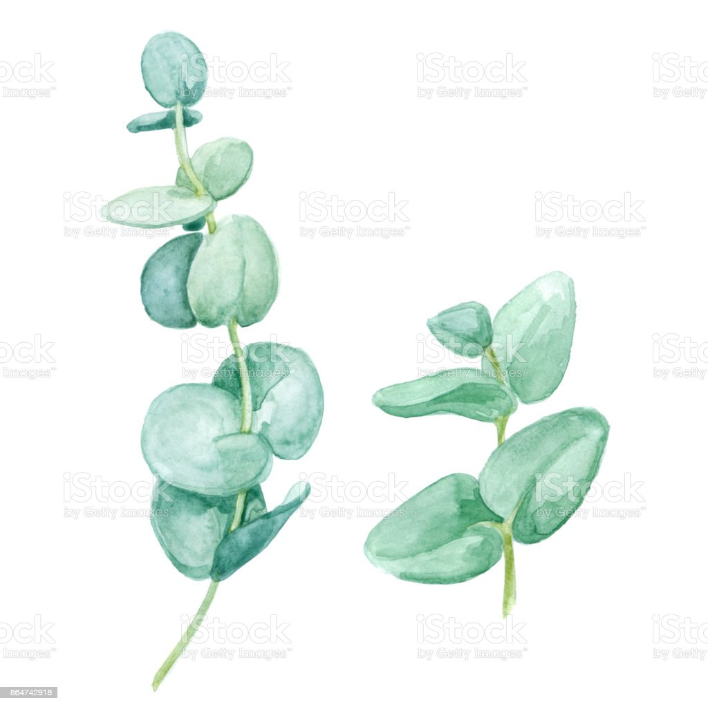Watercolor eucalyptus round leaves and branches. Floral elements for design vector art illustration