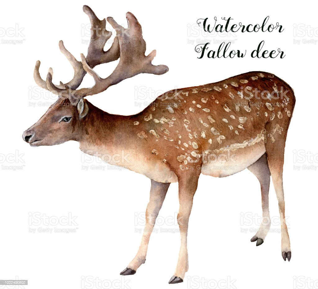 Watercolor Fallow Deer Hand Painted Wild Animal Isolated On White ...