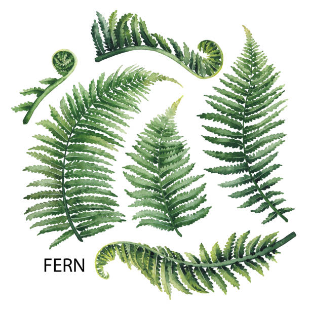 Watercolor fern leaves Watercolor collection of fern branches isolated on white background fern stock illustrations