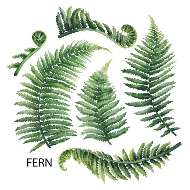stockillustraties, clipart, cartoons en iconen met aquarel fern bladeren - varen