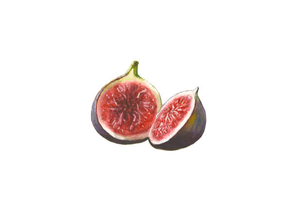 Watercolor figs on white background Watercolor hand painted figs isolated on white background fig stock illustrations