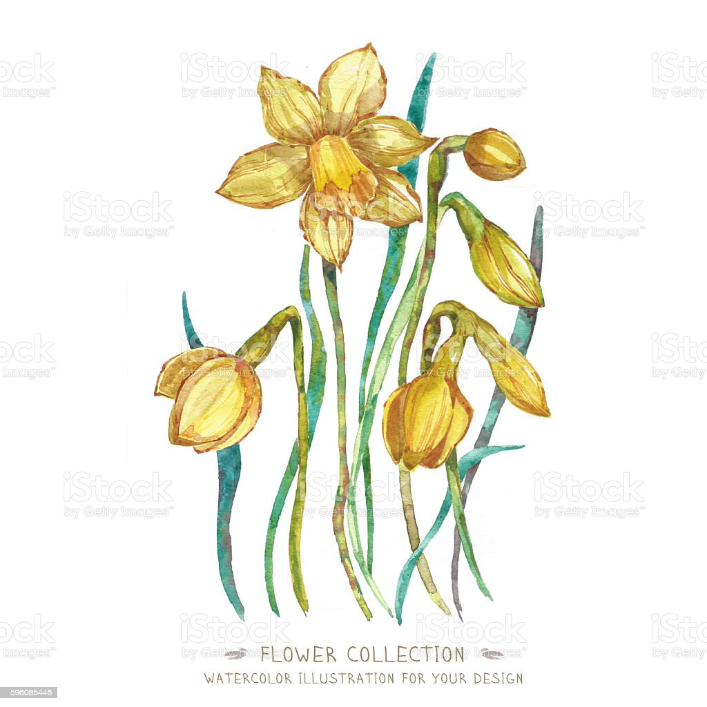 Watercolor flower narcissus royalty-free watercolor flower narcissus stock vector art & more images of art product