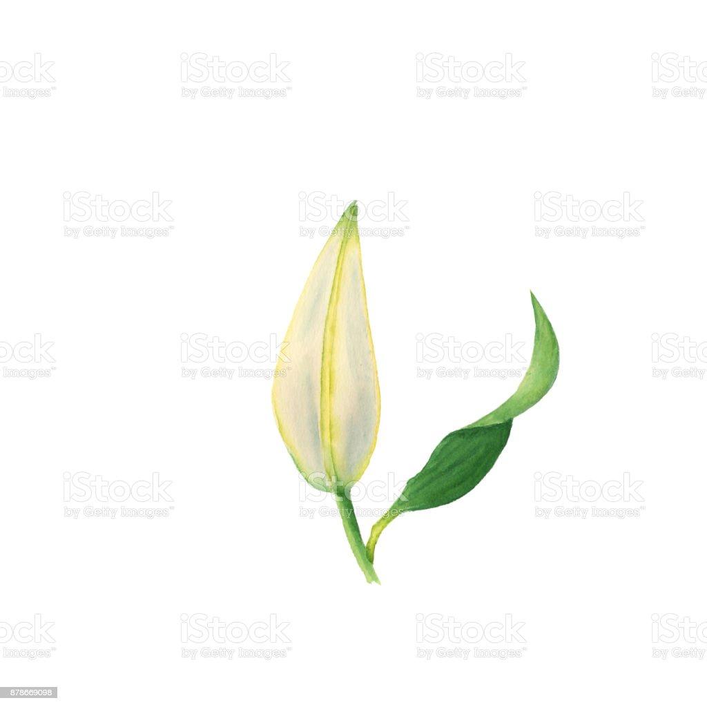 Ilustración de Acuarela Flor De Capullo De Lirio Blanco Elementos ...