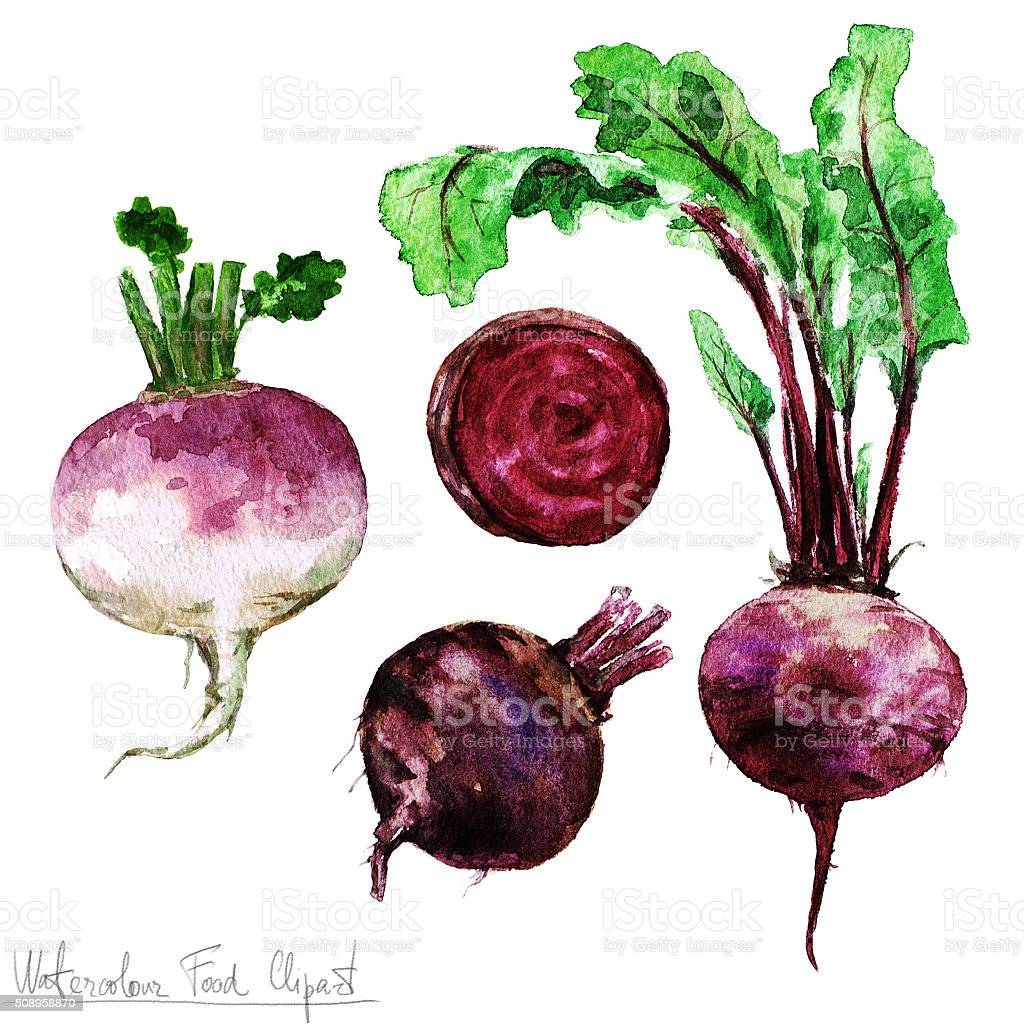 Watercolor Food Clipart - Beetroot and Turnip vector art illustration