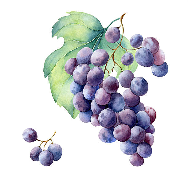 watercolor fruit branch grape vector art illustration