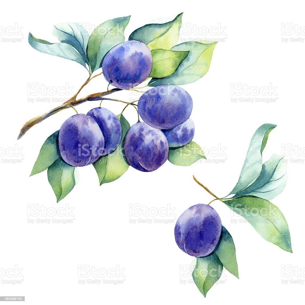 watercolor fruit plum branch vector art illustration