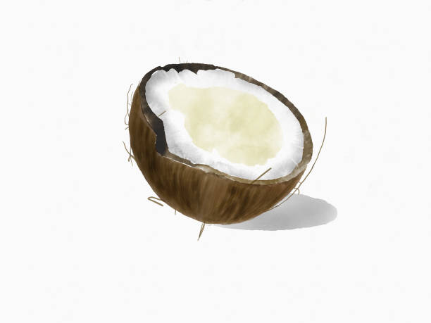 serie de la sección de frutas acuarela, coco - ilustración de arte vectorial