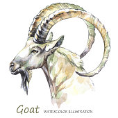 Watercolor goat on the white background. Mountain animal. Wildlife art illustration. Can be printed on T-shirts, bags, posters, invitations, cards, phone cases, pillows