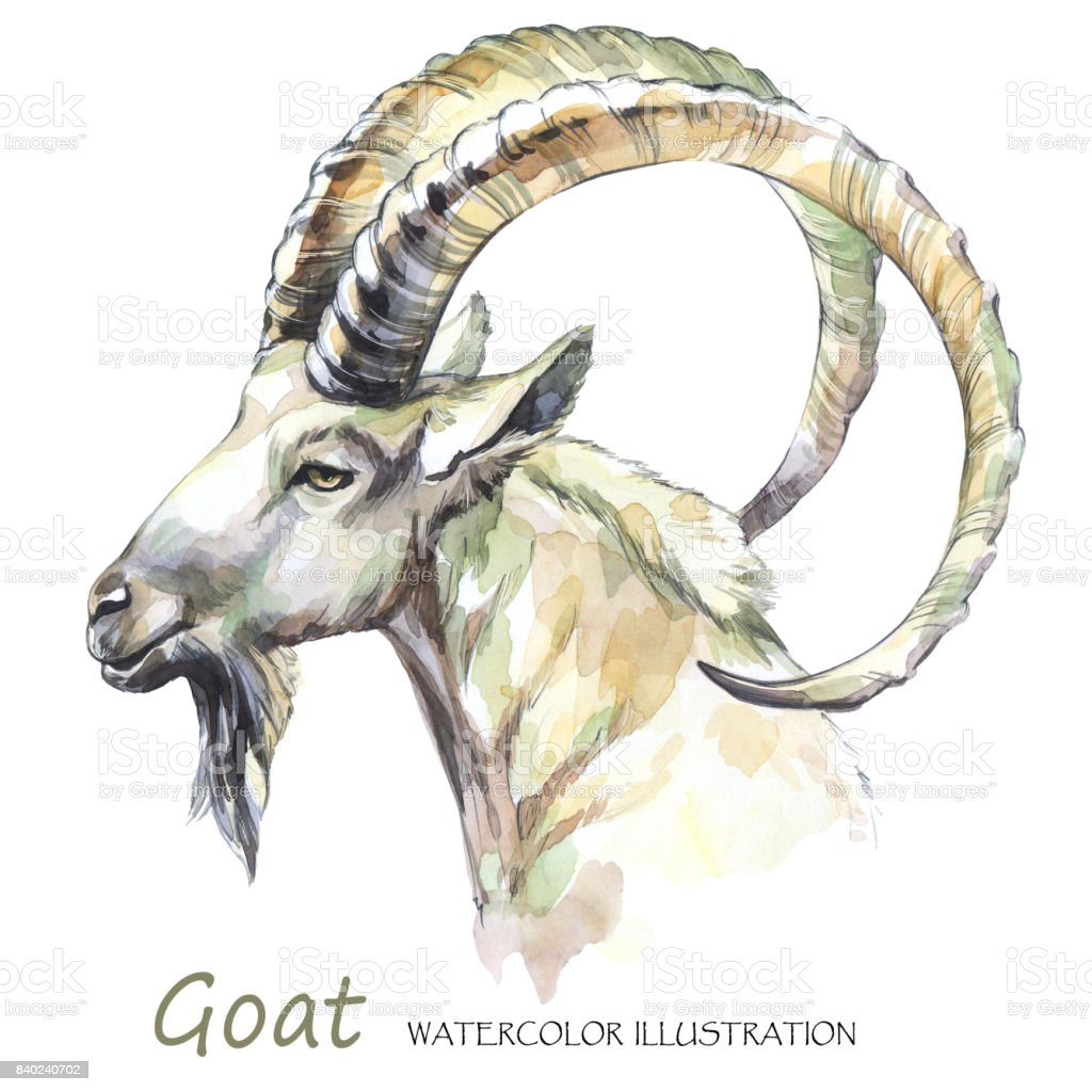 Watercolor goat on the white background. Mountain animal. Wildlife art illustration. Can be printed on T-shirts, bags, posters, invitations, cards, phone cases, pillows vector art illustration