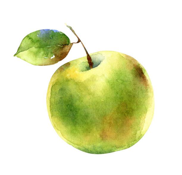 illustrazioni stock, clip art, cartoni animati e icone di tendenza di watercolor green apple isolated on white background - mika
