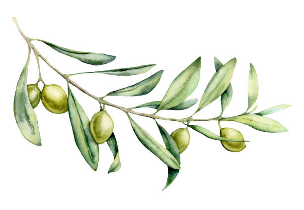 Watercolor green olive branch set. Hand painted floral illustration with olive fruit and tree branches with leaves isolatedon white background. For design, print and fabric. Watercolor green olive branch set. Hand painted floral illustration with olive fruit and tree branches with leaves isolatedon white background. For design, print and fabric olive branch stock illustrations