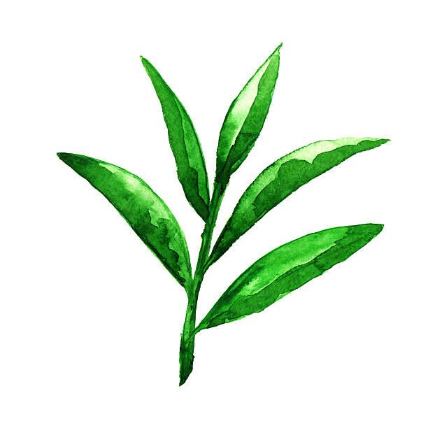 illustrazioni stock, clip art, cartoni animati e icone di tendenza di acquarello verde foglie di tè - camellia sinensis