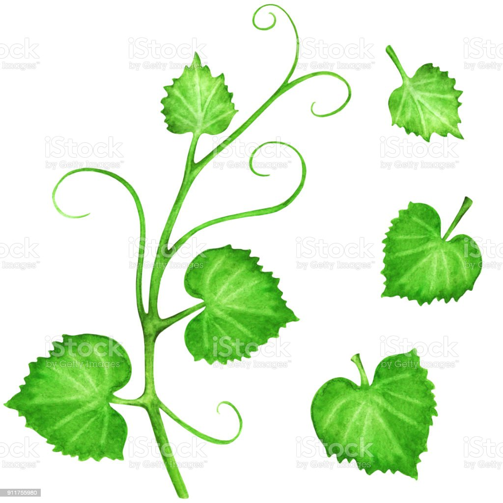 Watercolor green vine and leaves set vector art illustration