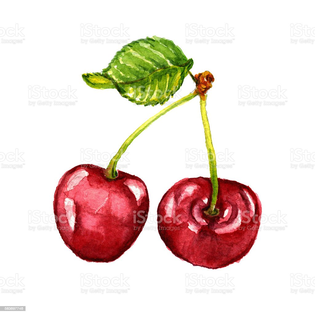 Watercolor hand drawn cherry vector art illustration
