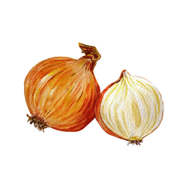Watercolor hand drawn onion vector art illustration