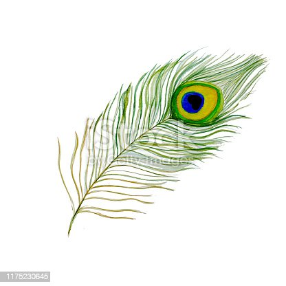 watercolor hand drawn peacock feather on white background