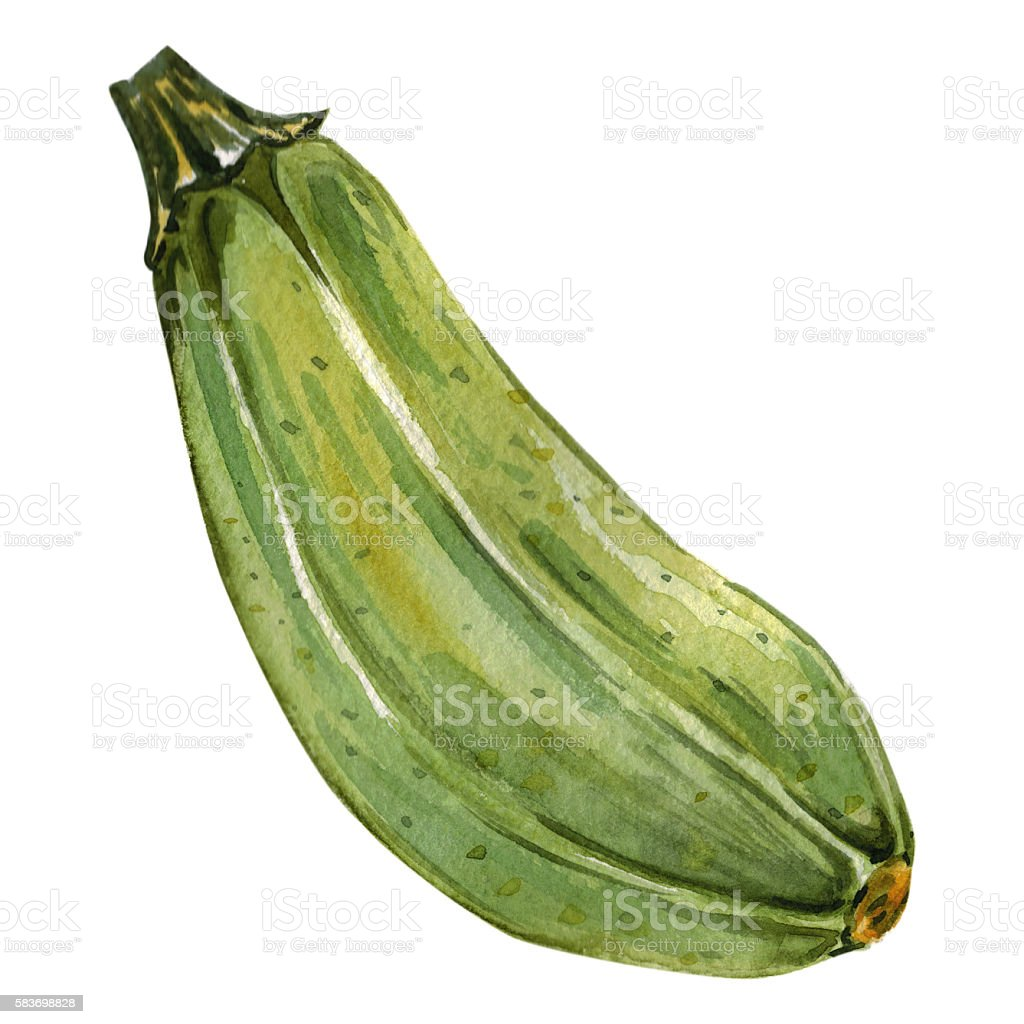 Watercolor hand drawn Zucchini vector art illustration