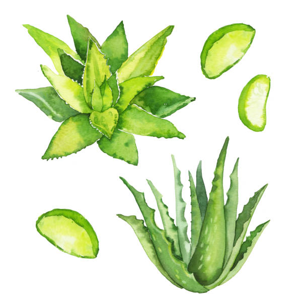 watercolor hand painted botanical aloe vera plant illustration set isolated on white background - aloe vera stock illustrations