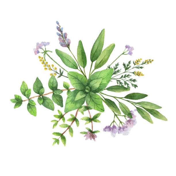 watercolor hand painted bouquet with wild herbs and spices. - sage stock illustrations, clip art, cartoons, & icons