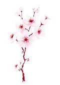 Watercolor cherry blossom branches hand painted. Spring or summer decoration sakura design, illustration isolated on white background.