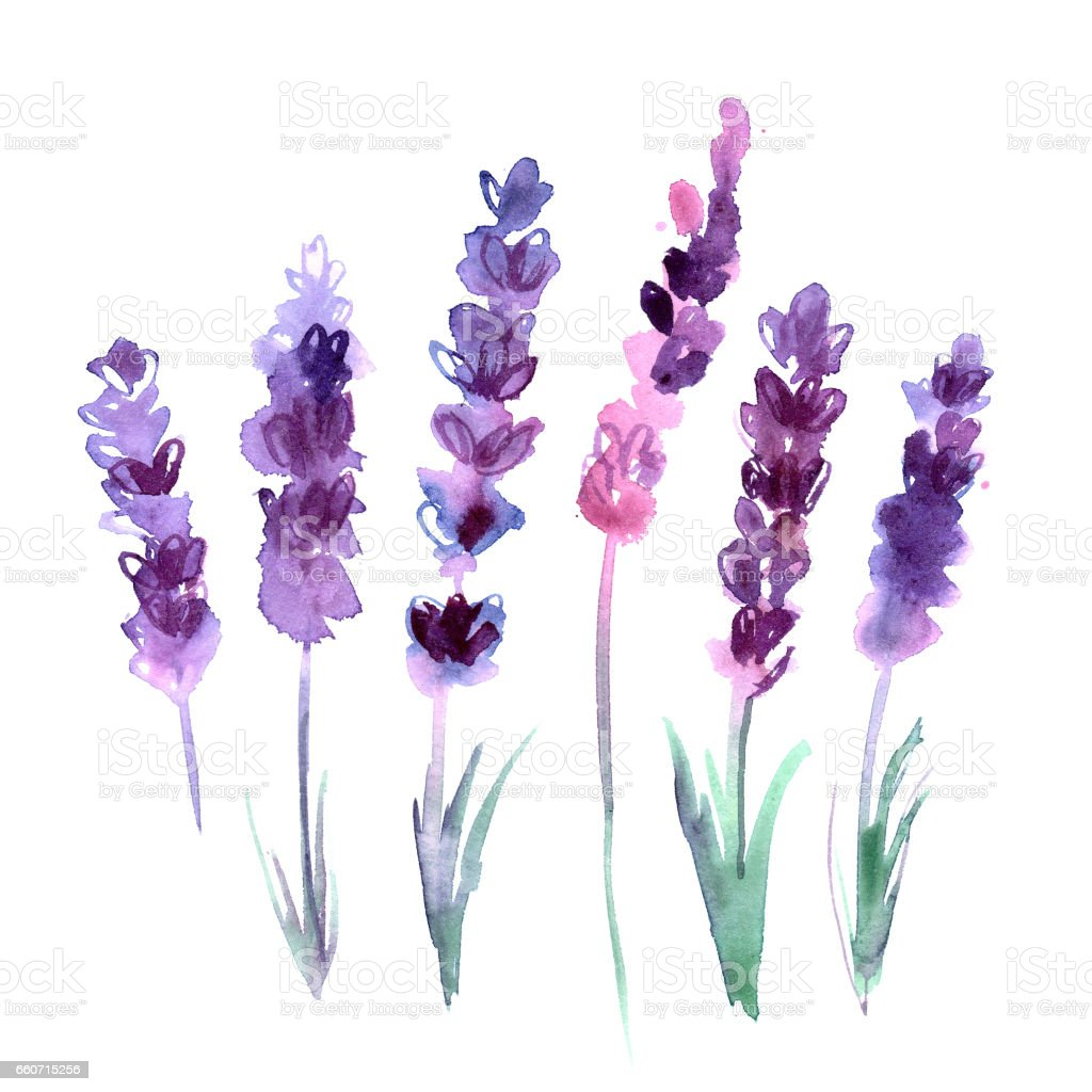 Watercolor Hand Painted Lavender Flowers On White Background Stock