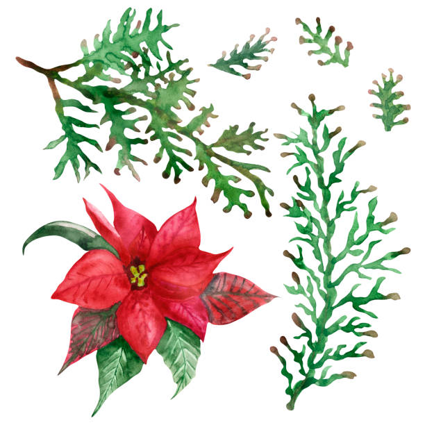 21 Drawing Of The Poinsettia Flower Border Illustrations Royalty Free Vector Graphics Clip Art Istock