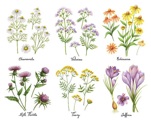 Watercolor hand painted set with medical herbs and plants. Watercolor hand painted set with medical herbs and plants. The perfect design for greeting card, medicine, packaging, kitchen decor, cosmetics, natural and organic products. chamomile plant stock illustrations