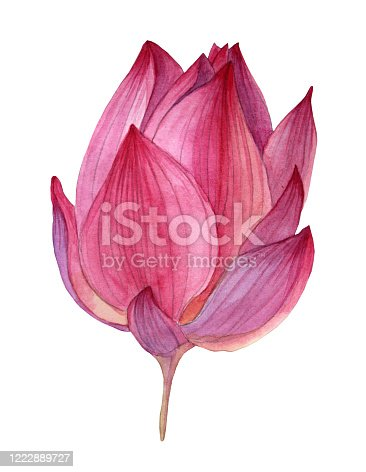 Watercolor hand-drawn pink purple bud button flower lotus isolated on white background art creative object