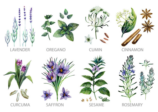 Watercolor herbs and spices Watercolor collection of herbs and spices isolated on white background lavender plant stock illustrations