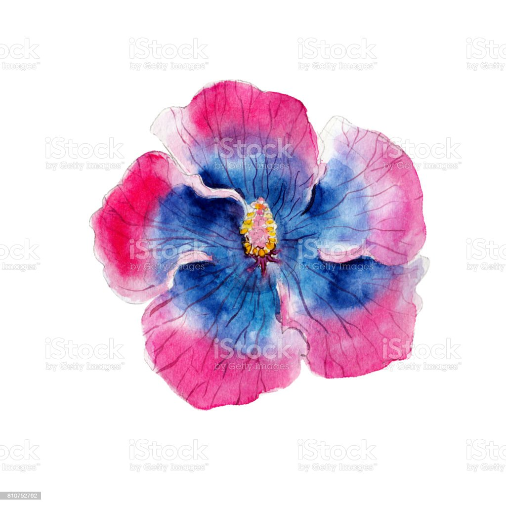 Watercolor hibiscus flower hand drawn isolated on white background watercolor hibiscus flower hand drawn isolated on white background royalty free watercolor izmirmasajfo