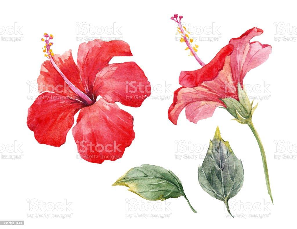 Watercolor hibiscus flower set stock vector art more images of art watercolor hibiscus flower set royalty free watercolor hibiscus flower set stock vector art amp izmirmasajfo