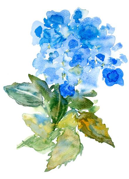 stockillustraties, clipart, cartoons en iconen met aquarel hydrangea - hortensia
