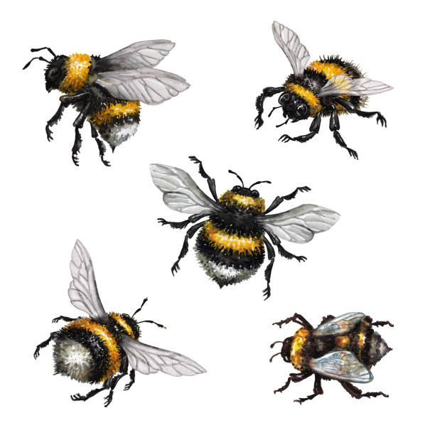 watercolor illustration, assorted bumblebees, wild insect clip art, isolated on white background watercolor illustration, assorted bumblebees, wild insect clip art, isolated on white background bee clipart stock illustrations