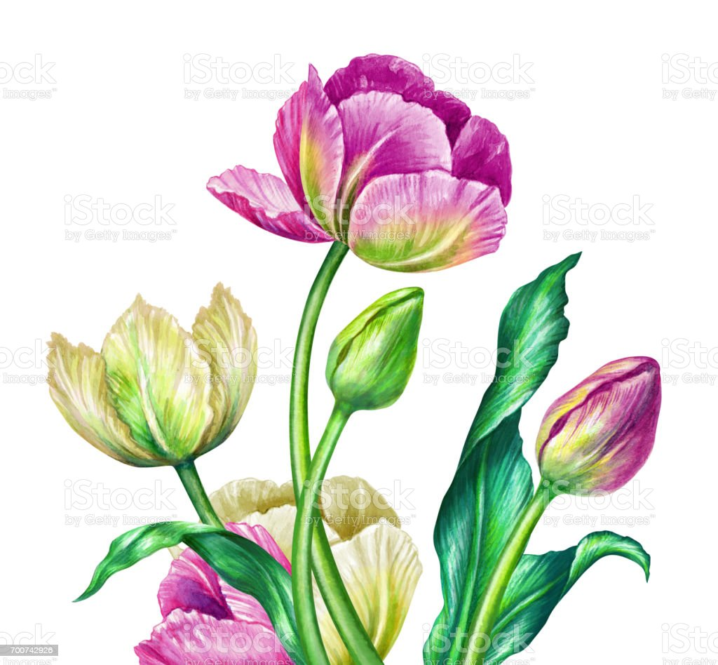 illustration aquarelle art botanique tulipes blanc de printemps