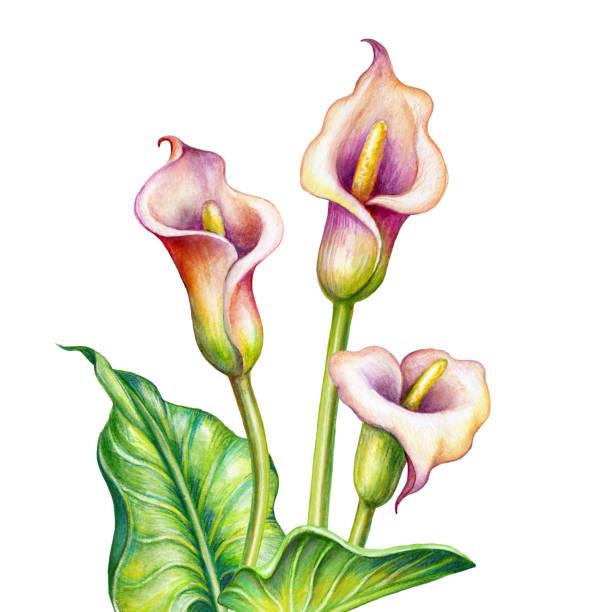 cala lily illustrations royaltyfree vector graphics