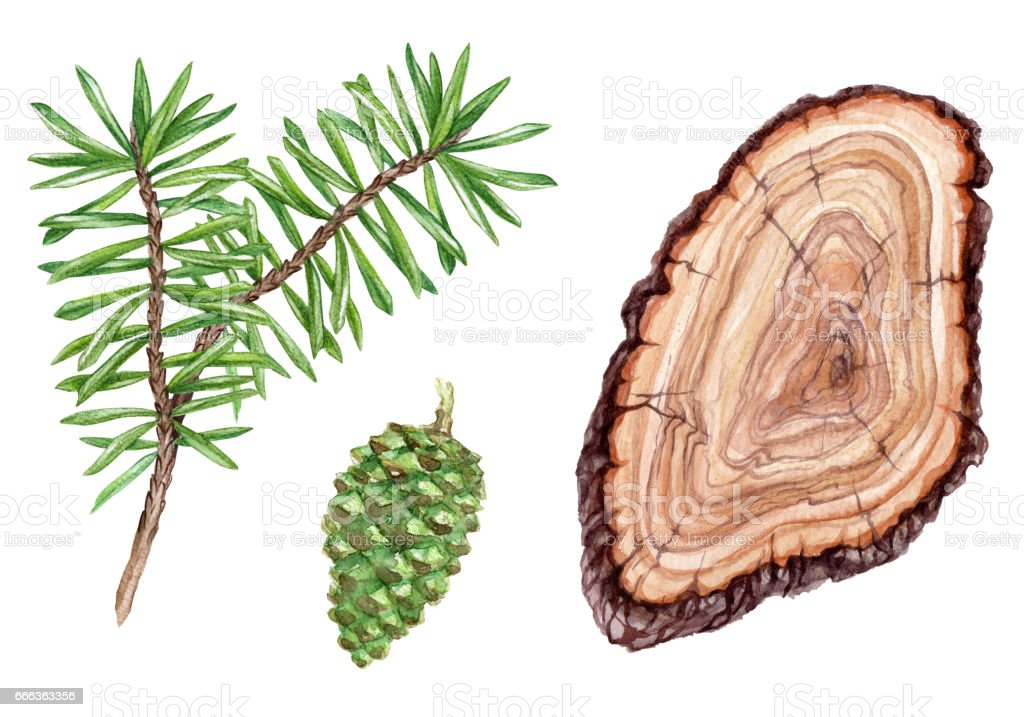 Watercolor Illustration Conifer Fir Tree Pine Cone Wood Slice