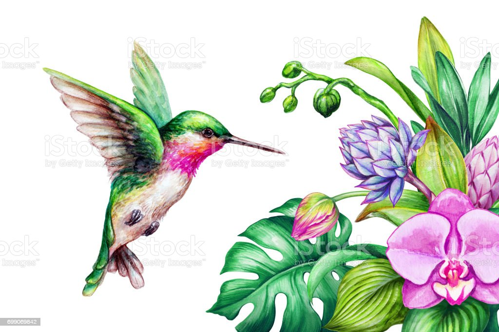 watercolor illustration, exotic nature, flying humming bird, tropical calla lily flowers, green jungle leaves, isolated on white background vector art illustration