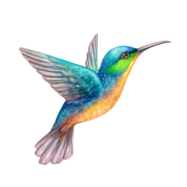 watercolor illustration, flying hummingbird isolated on white background, exotic, tropical, wild life clip art - hummingbird stock illustrations