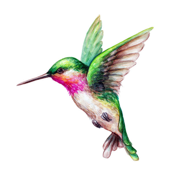 watercolor illustration, flying hummingbird isolated on white background, exotic, tropical, wild life clip art watercolor illustration, flying hummingbird isolated on white background, exotic, tropical, wild life clip art isolated color stock illustrations