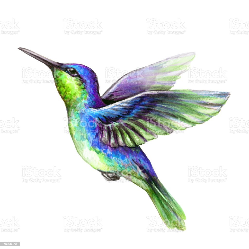 Watercolor Illustration Flying Hummingbird Isolated On White